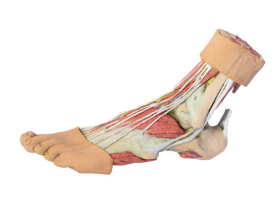 FOOT - STRUCTURES OF THE PLANTAR SURFACE