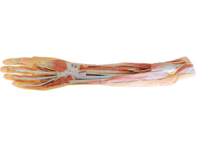 Forearm and hand - superficial and deep dissection