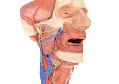HEAD AND VISCERAL COLUMN OF THE NECK