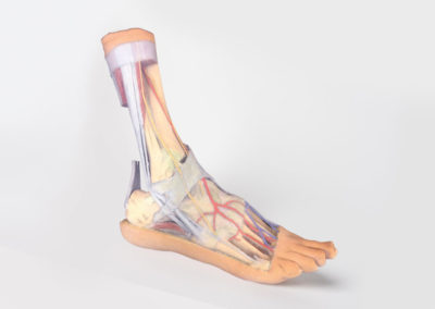 FOOT - SUPERFICIAL AND DEEP STRUCTURES OF THE DISTAL LEG AND FOOT