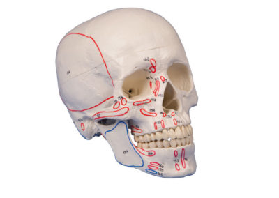SKULL MODEL, 3-PART, WITH MUSCLE MARKING